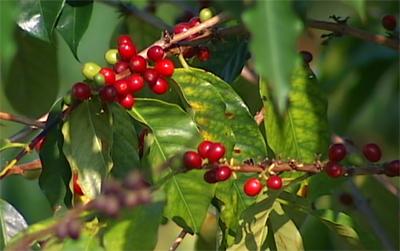 Kona Coffee Farmers Association fights bean inspection repeal bill