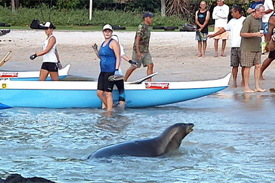 VIDEO: Rare Hawaiian monk seal visits Kona canoe race