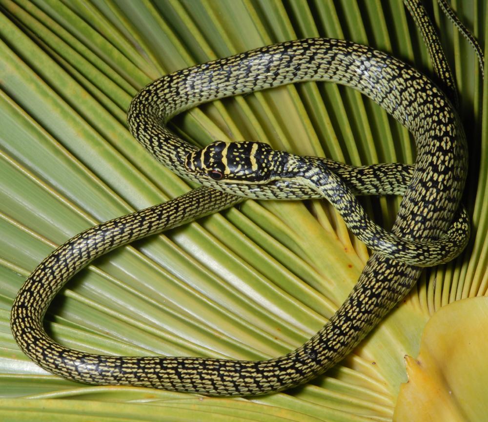 """Mildly venomous"" tree snake caught at Hawaii military base"