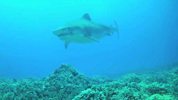 VIDEO: 14 foot tiger shark, Lavern, filmed off Kona