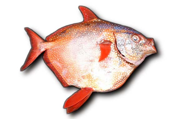 Study finds lots of plastic ingested by Hawaii fish