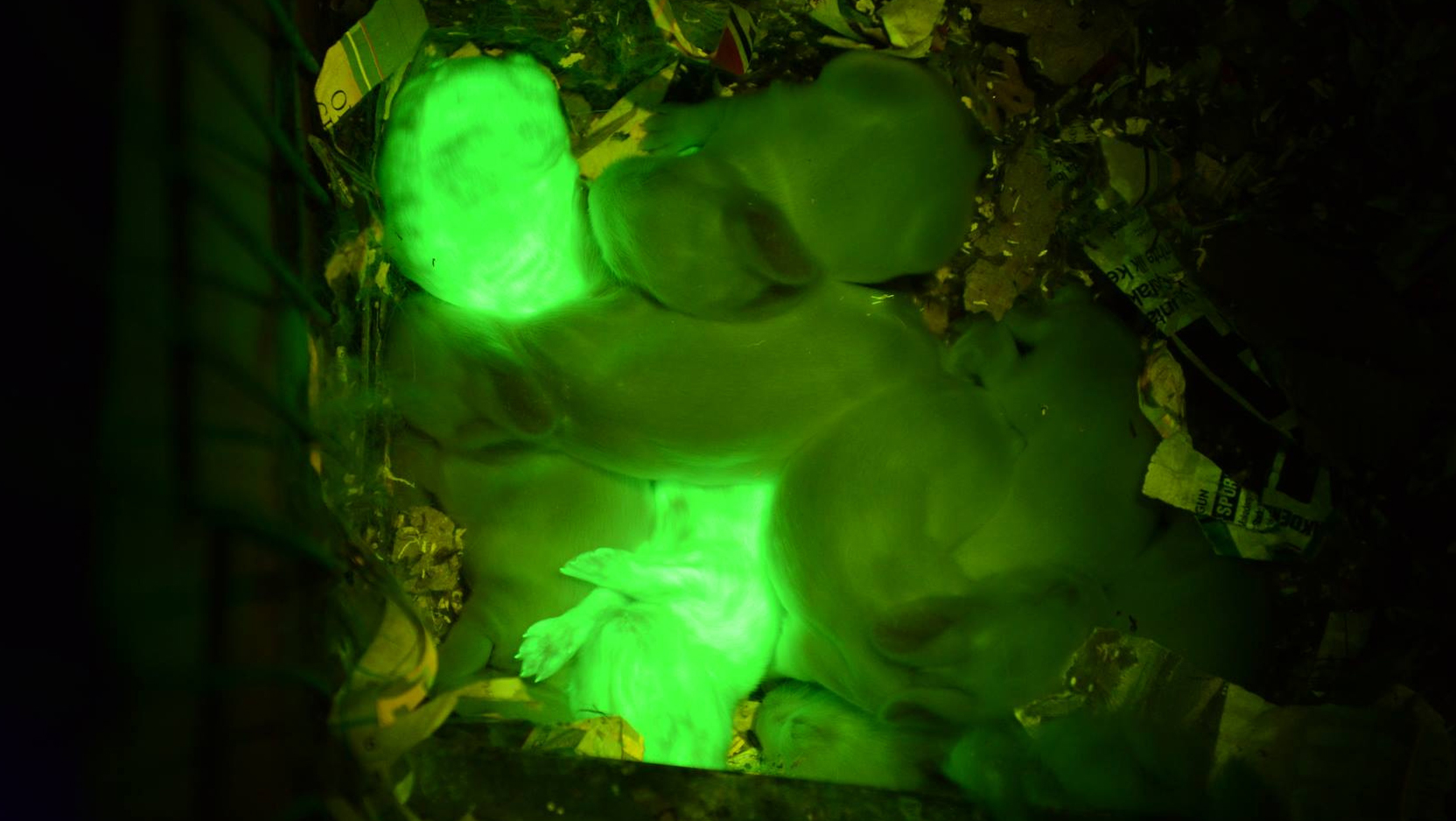 "VIDEO: Scientists create transgenic ""glowing green rabbits"""
