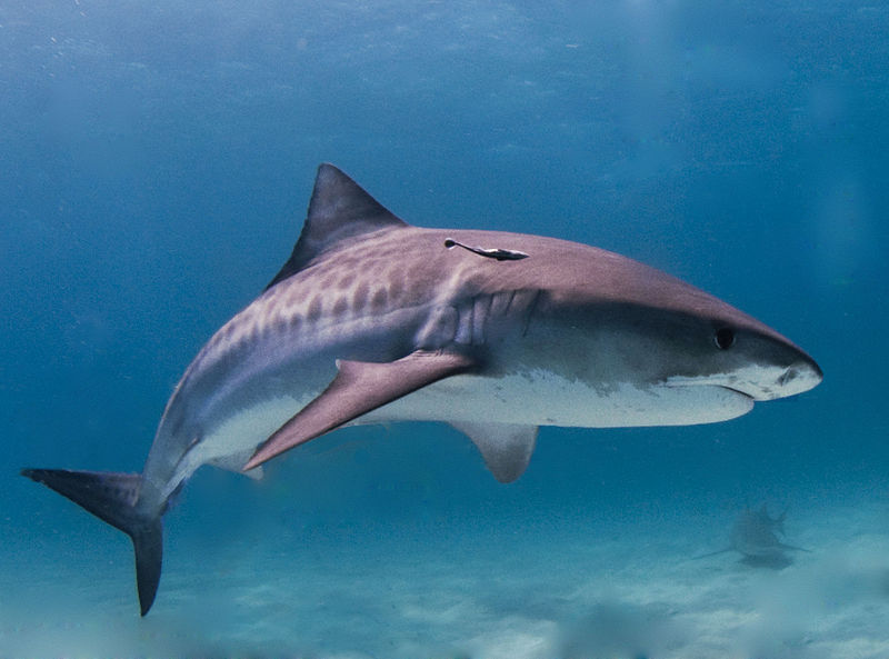DLNR to study tiger shark movements in Hawaii waters