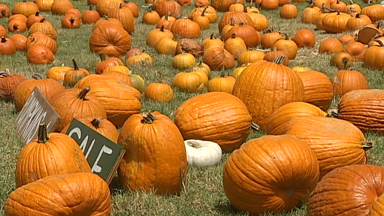 VIDEO: Pumpkins return to Kohala Mountain