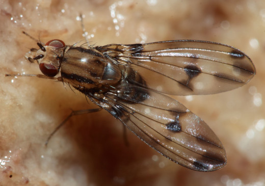 Drosophila digressa, courtesy Karl Magnacca