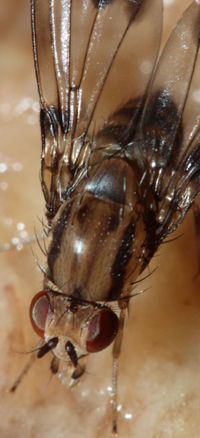 Drosophila digressa, courtesy Karl Magnacca (full photo above)