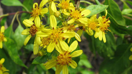Bidens Micrantha, by  C. Harrington/USFWS