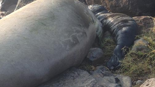 Baby monk seal birth closes North Kohala beach park