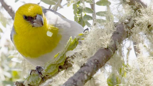 VIDEO: Festival held for endangered Hawaiian bird