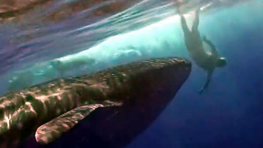 Whale Shark meets divers off Kona