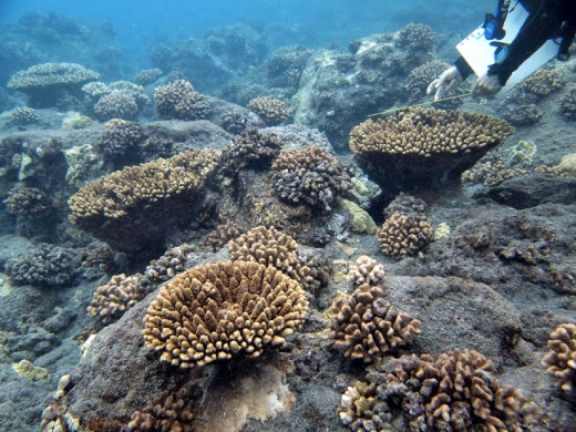 Multiple colonies of Acropora gemmifera. Photos by DLNR Division of Aquatic Resources