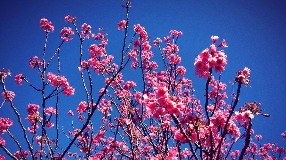 VIDEO: Waimea Cherry Blossom Festival 2014
