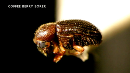 Coffee Berry Borer photo from Hawaii Dept. of Agriculture