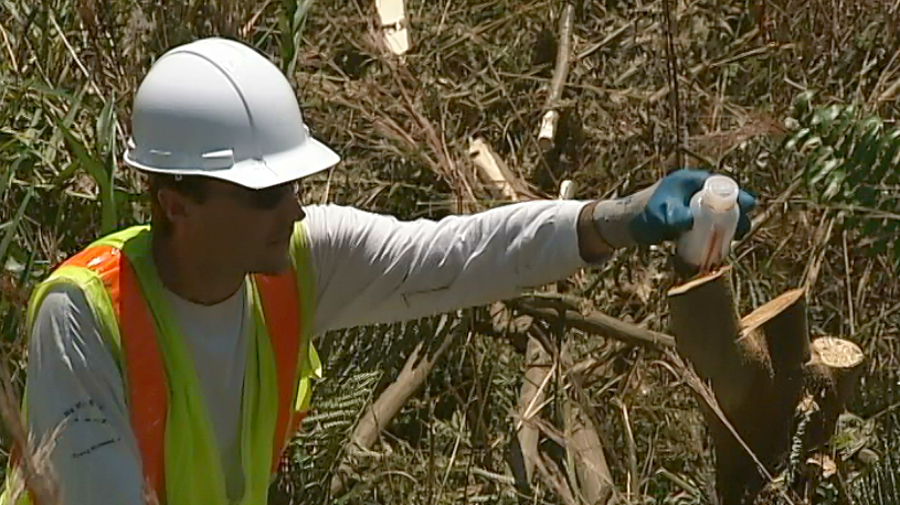 VIDEO: Hawaii Invasive Species Awareness Week targets albizia