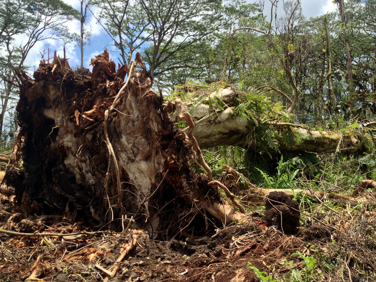 The flat root system of fallen albizia trees, Photo by David Corrigan