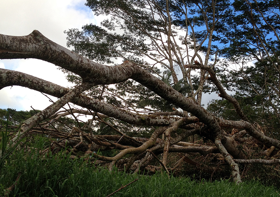 """VIDEO: All About Albizia, """"The Tree That Ate Puna"""""""