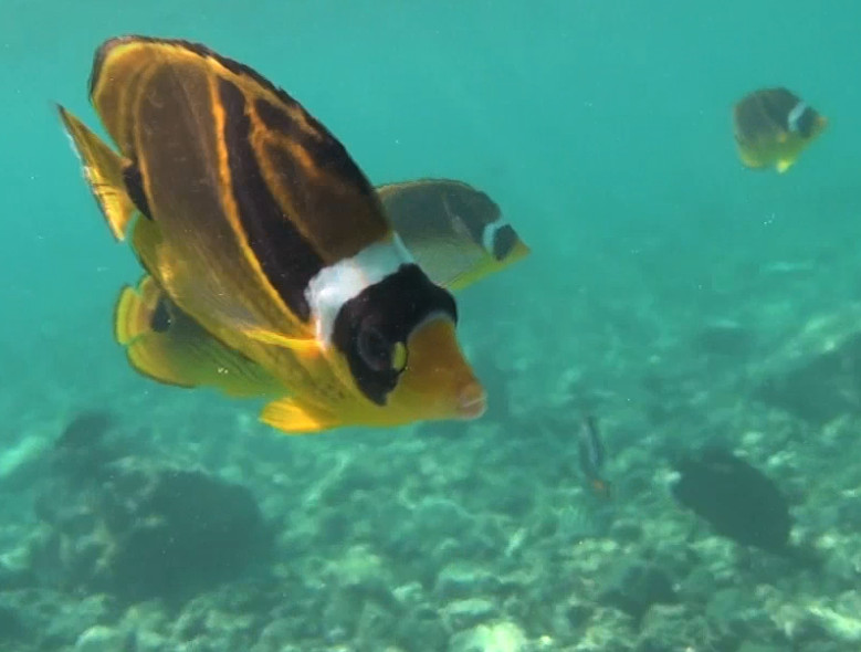 VIDEO: Hawaii Council Considers Rules For Aquarium Fish