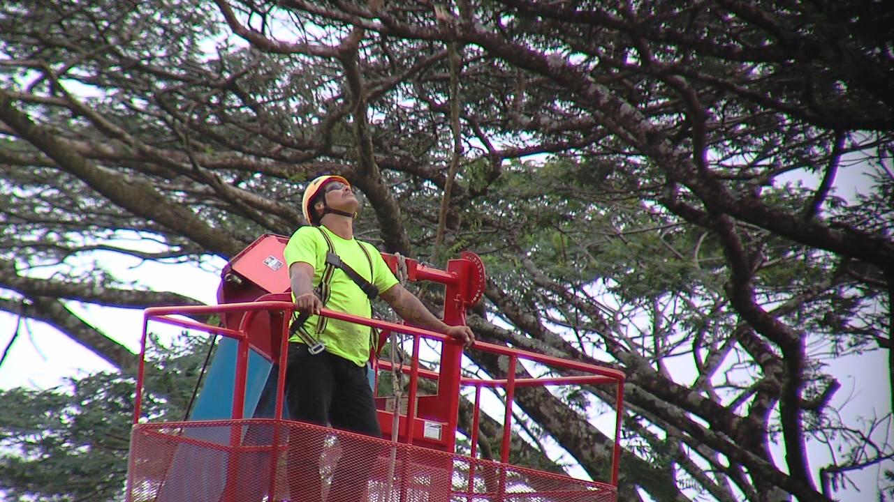 VIDEO: Fallen Albizia Trees Terrorize Nanawale