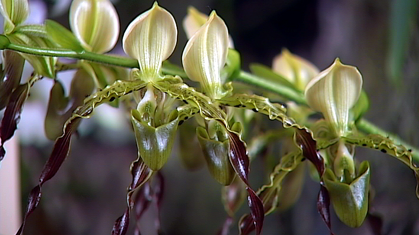 New Venue For 2015 Hilo Orchid Society Show