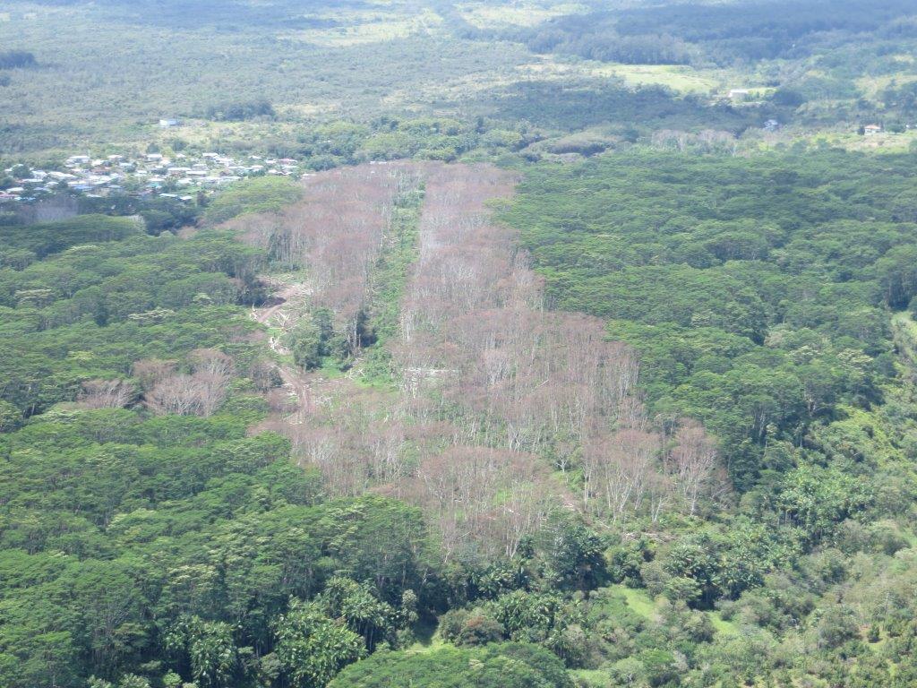 Swath of dead albizia on Hawaii Island, photo courtesy Big Island Invasive Species Committee