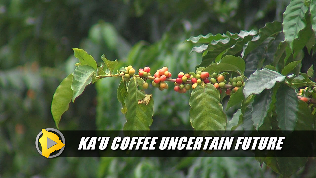 SERIES: Ka'u Coffee Faces Uncertain Future