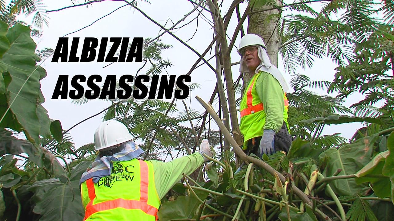 VIDEO: Albizia Assassins Hit Highway 132 In Puna