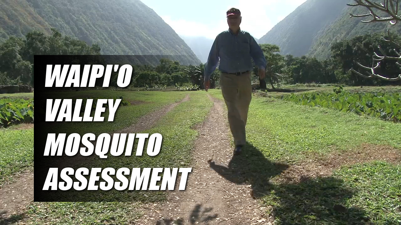 "VIDEO: As Waipio Valley ""Rests"", Mosquitoes Assessed"