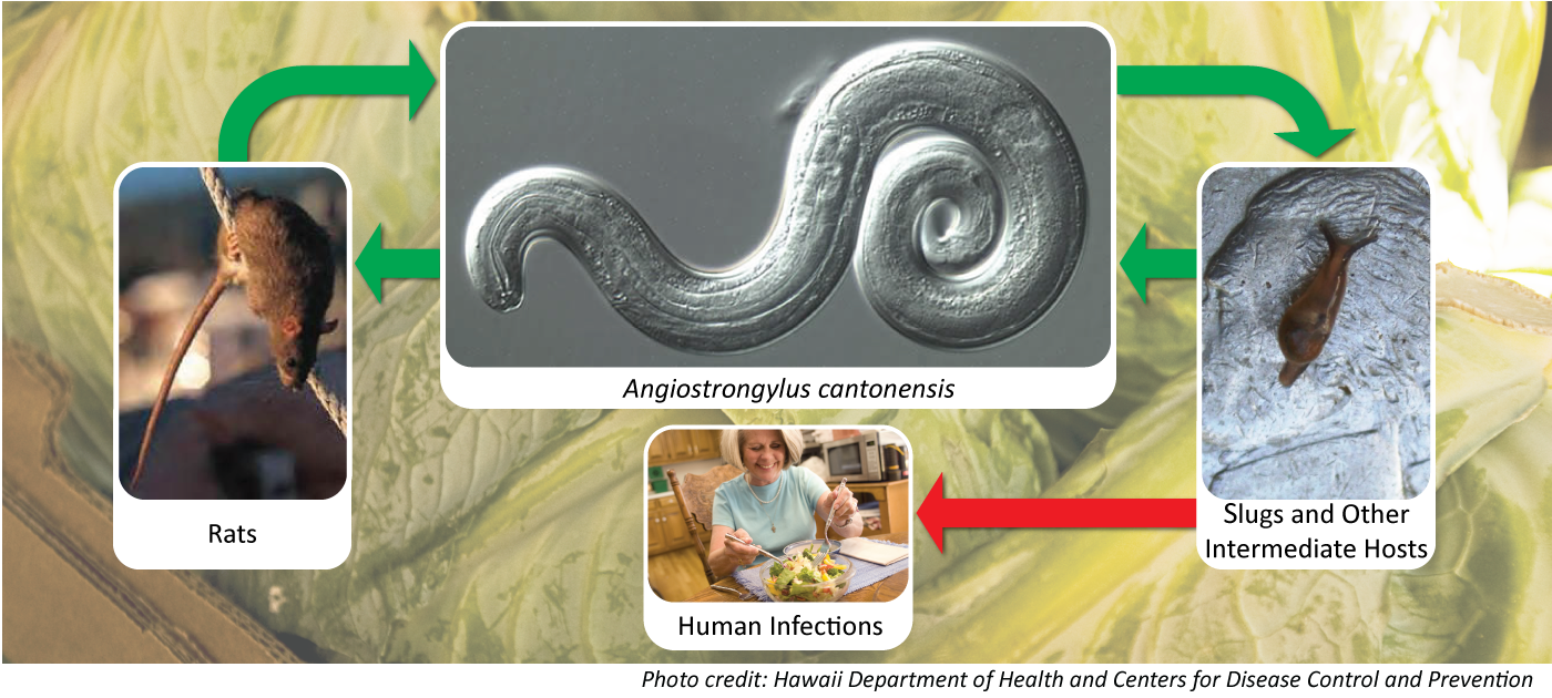 Hawaii Creates Rat Lungworm Disease Joint Task Force