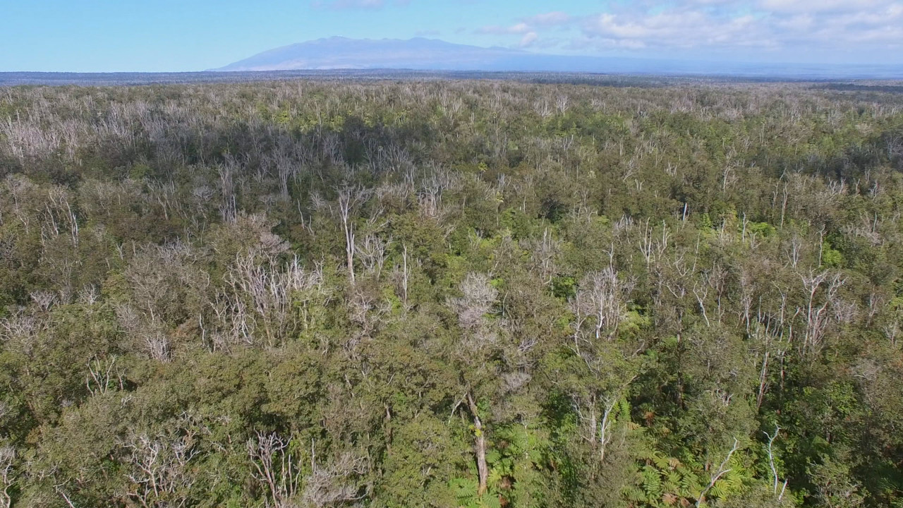 Rapid Ohia Death seen from above, image from video courtesy the University of Hawaii.