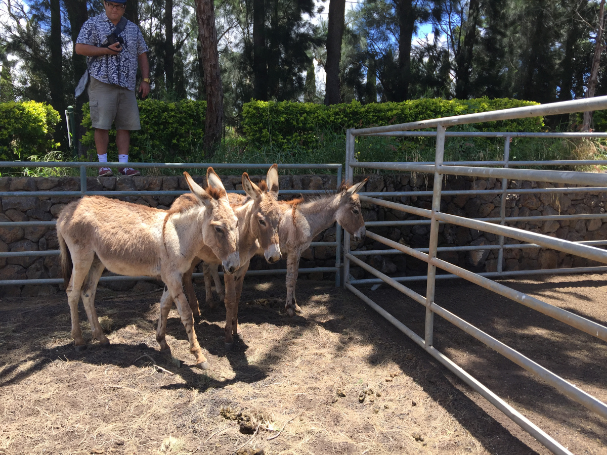 Waikoloa donkeys prepared for adoption, photo courtesy HSUS.