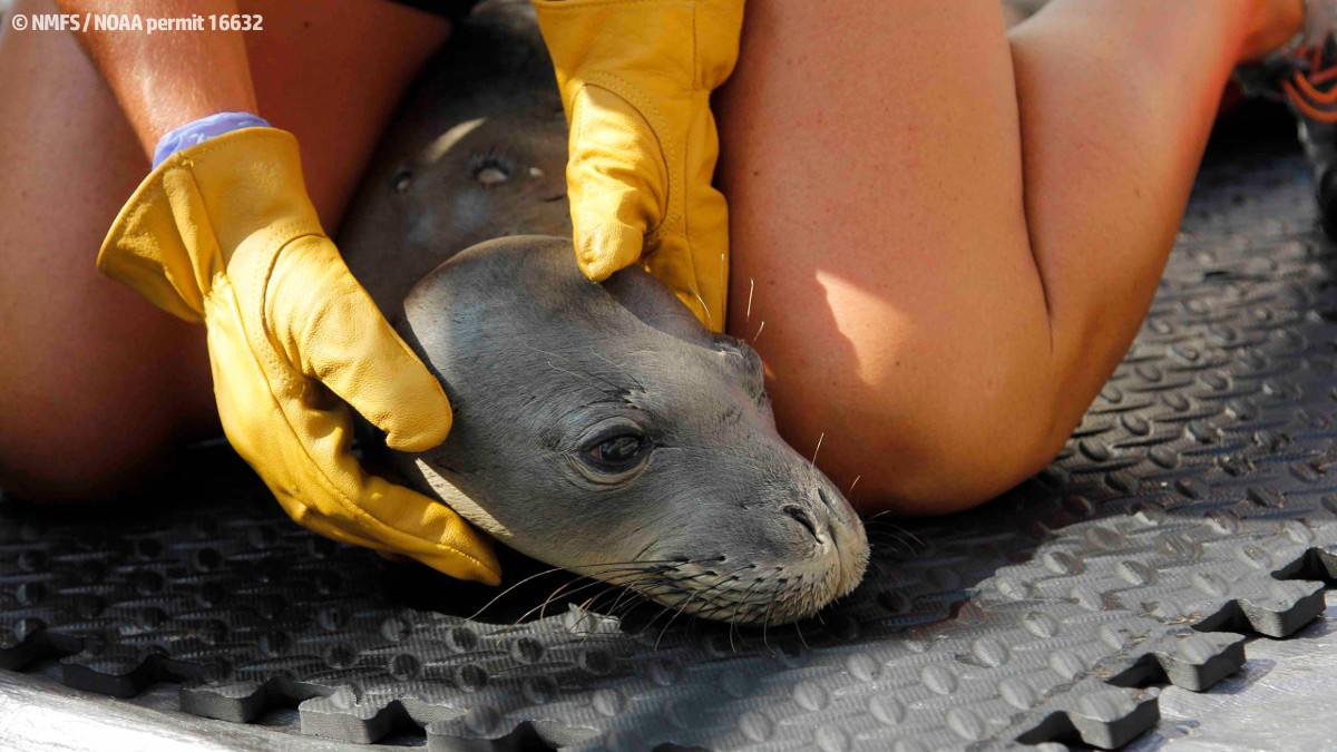 Rescued Monk Seals Brought To Kona Facility