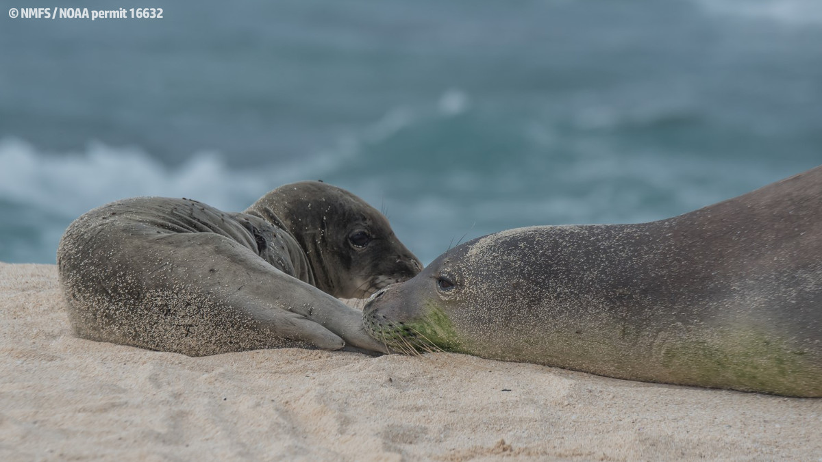 Hawaiian monk seal Niho`ole, a prematurely weaned male pup, rests on a beach in Laysan. Niho`ole is currently in guarded condition at The Marine Mammal Center's Ke Kai Ola hospital in Kona. (Credit © NMFS / NOAA permit 16632)