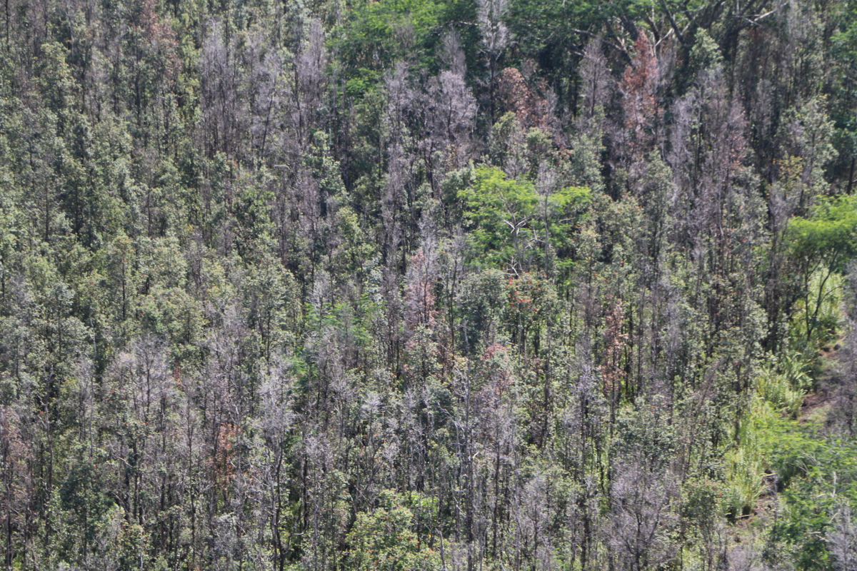 Dead ohia trees below, observed during a recent survey conducted from helicopter. Image courtesy Hawaii DLNR.