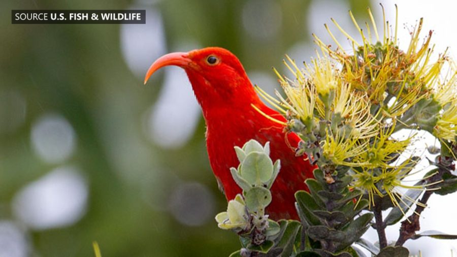 VIDEO: Rapid Ohia Death Real Concern For Hawaii Native Birds
