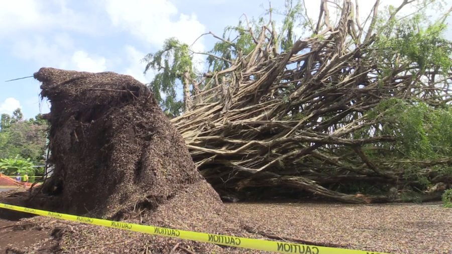 VIDEO: Troublesome Honomu Banyan Tree Falls