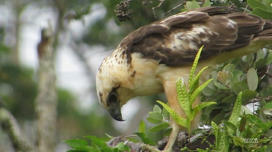 VIDEO: Released Alala Readied For Predatory Hawaiian Hawk