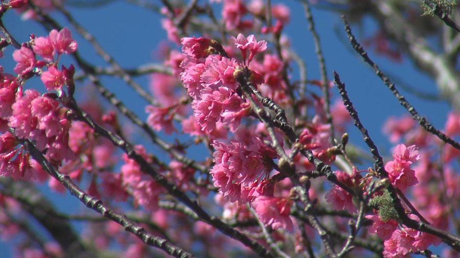 TODAY: 2018 Waimea Cherry Blossom Festival