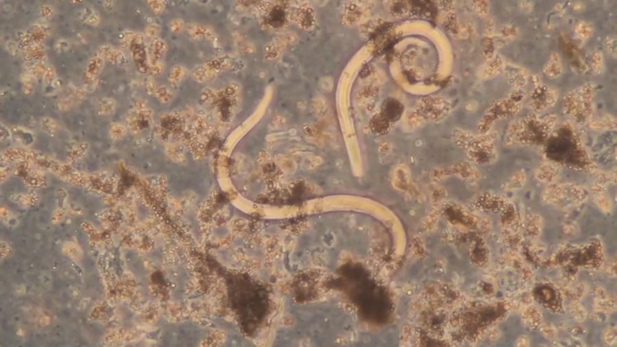 Year's First Confirmed Case Of Rat Lungworm In West Hawaii