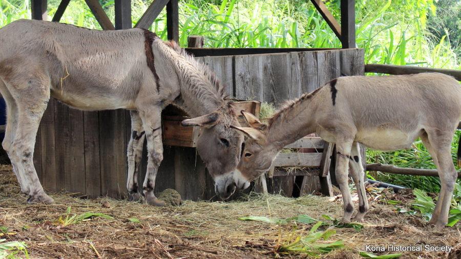 Baby Kona Nightingale, Shizu, Arrives At Coffee Living History Farm