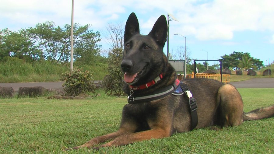 VIDEO: Fungus-Sniffing Dog To Help Save Hawaii Ohia Trees
