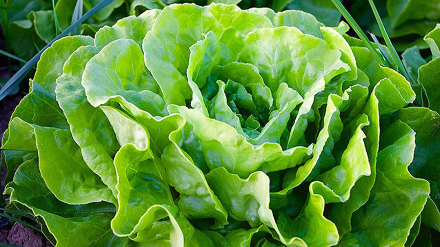 No Reason To Avoid Hawaii-Grown Lettuce, Ag Department Says