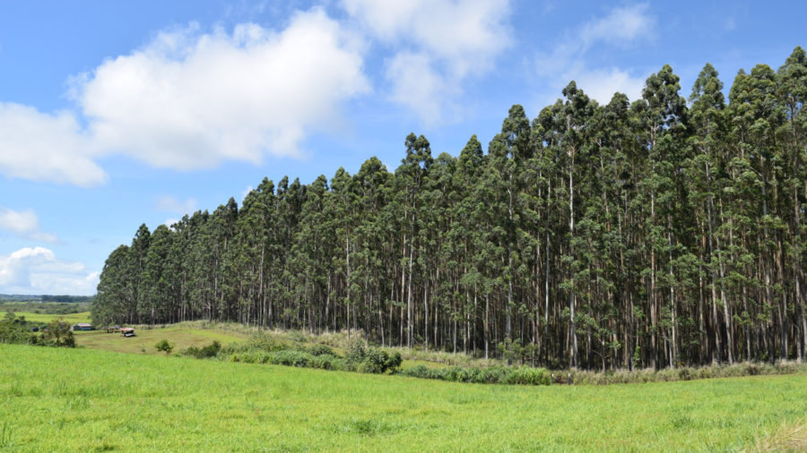 Hu Honua Sister Company Negotiating For Hamakua Eucalyptus Harvest