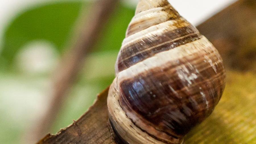 George, Last Hawaiian Land Snail Of His Kind, Dies