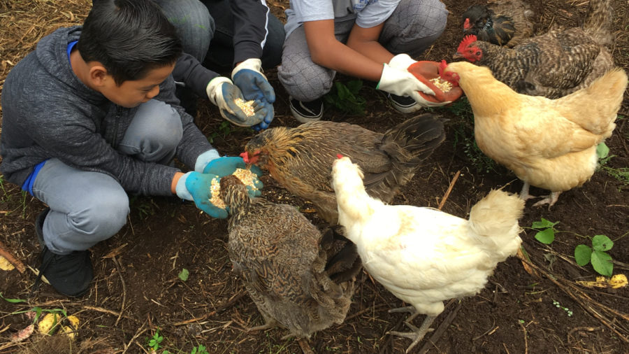 7 Laying Hens Stolen From Waimea School Garden