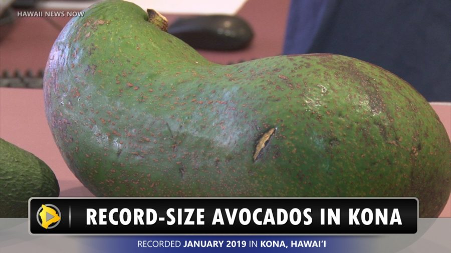 VIDEO: Record-Size Avocado Grown In Kona