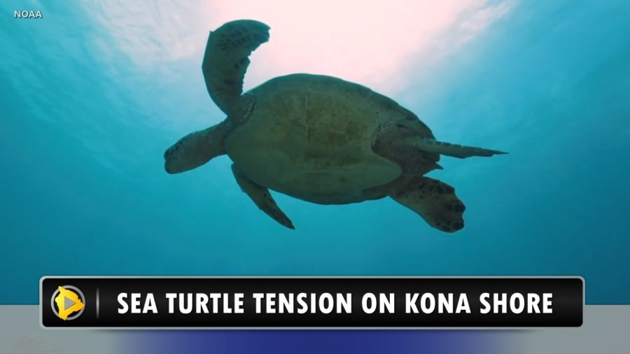 VIDEO: Sea Turtle Tension On Kona Shore