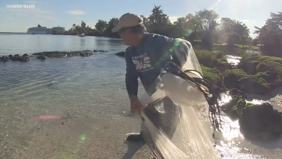 VIDEO: Introduced Mullet Taking Over Hawaii Estuaries