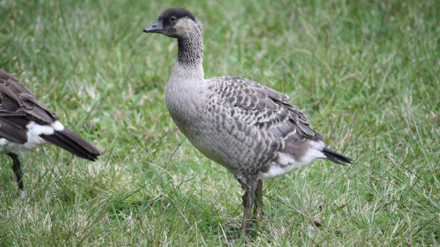 HVNP: Nene Gosling To Fledgling, Closed Areas Now Open