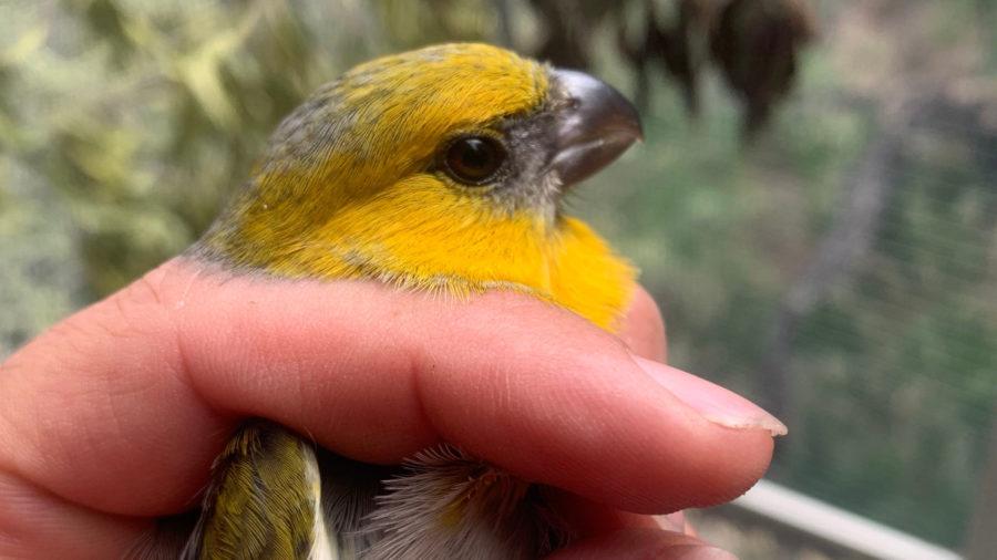 Six Palila Birds Released Into Puu Mali Restoration Area
