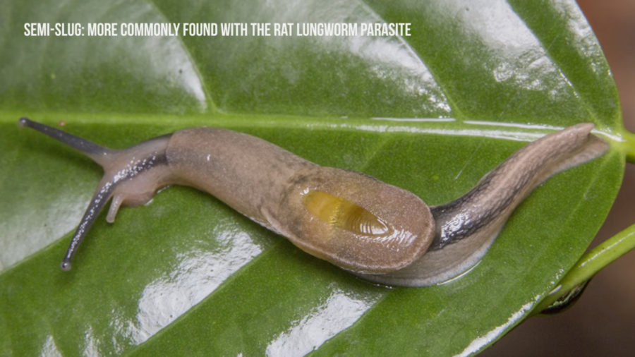 Three Rat Lungworm Cases Confirmed In Visitors To Hawaii Island